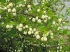 Mersin-Bozyaz?\'da Mersin,Murt denilen (Myrtus communis) bitki ve meyvesi...